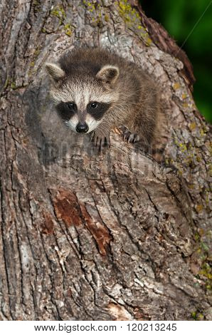 Young Raccoon (procyon Lotor) Stares Out