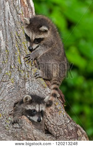 Young Raccoons (procyon Lotor) On And In Tree