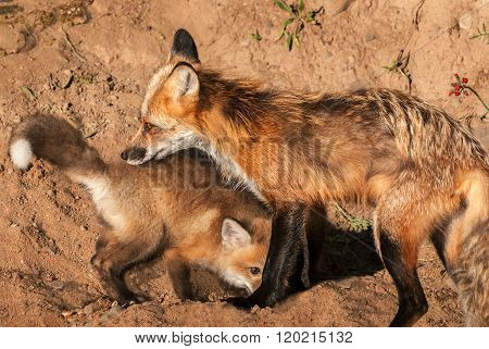 Red Fox Vixen (vulpes Vulpes) Sniffs Kit