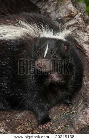 Striped Skunk (mephitis Mephitis) Closeup