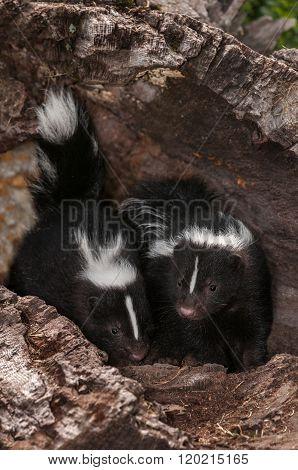 Baby Striped Skunks (mephitis Mephitis) Sit In Log