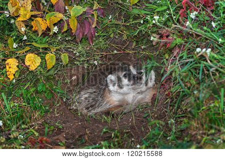 North American Badger (taxidea Taxus) In Den Sniffs Leaf
