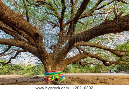 Giant Albizia Saman tree with Buddhist ribbons around the trunk in the Kanchanaburi province, Thailand