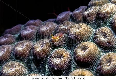 great star coral Montastraea cavernosa is a colonial stony coral found in the Caribbean seas with small shrimp