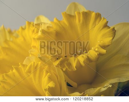 Daffodil Narcissus is a genus of mainly hardy mostly spring-flowering bulbous perennials in the Amaryllis family subfamily Amaryllidoideae