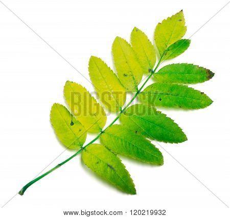Rowan Leaves On White