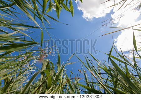 Upside View To Sky Through Greem Grass