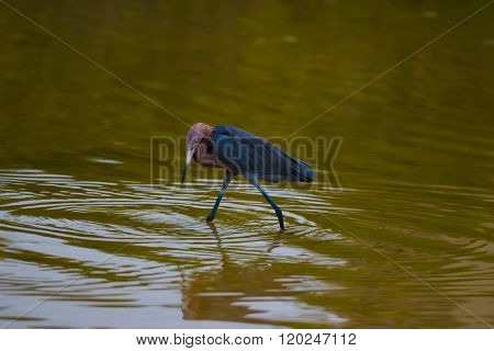 Reddish Egret Hunting In The Water