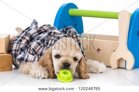 american cocker spaniel with tool box and tools on white background