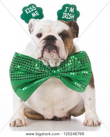 english bulldog wearing kiss me I'm Irish headband
