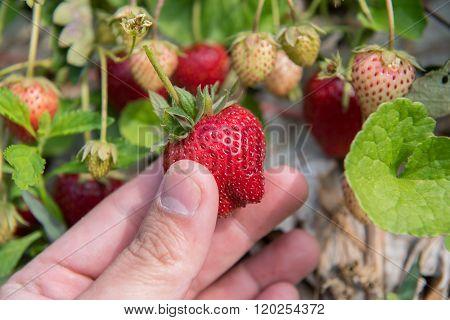 Fresh strawberries handpicked from a strawberry farm Tak ,Thailand.