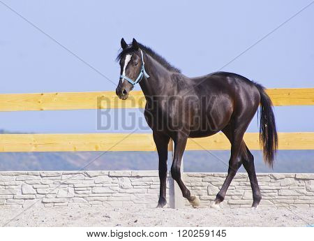 black horse in a blue halter walk on the sand in the paddock