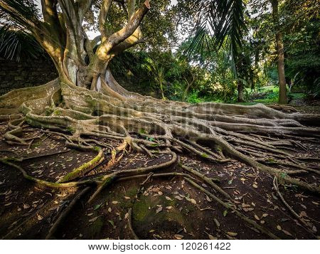Enormous fig tree roots