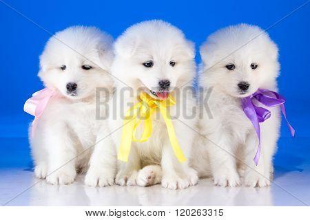 Furry puppies of Samoyedskaja dog