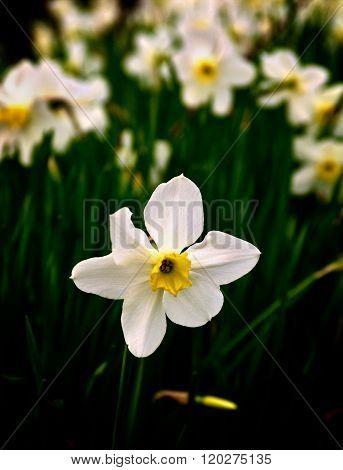 White Spring Daffodil
