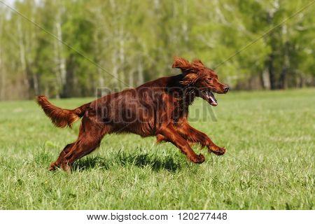 Irish setter runs across