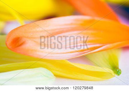 Colorful Petal Background