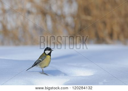 Great Tit Stands At The Snowdrift In Sunny Winter Day