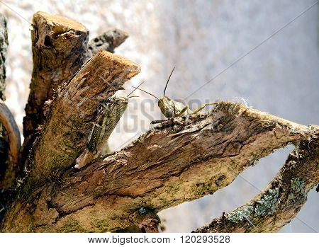 Two grasshoppers in a tree