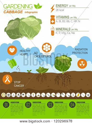 Gardening work, farming infographic. Cabbage. Graphic template. Flat style design