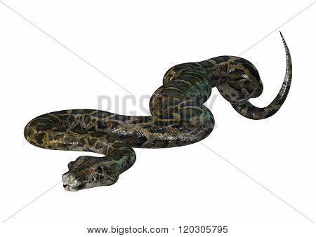 Burmese Python On White