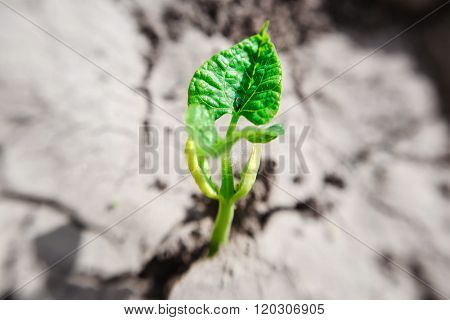 Macro of bean germ  with first leaves over soil background