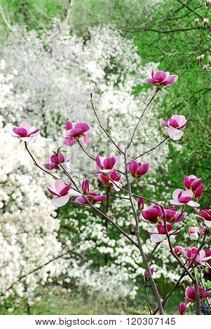 Many Magnolia Flowers Bloom In Spring On A Sunny Day