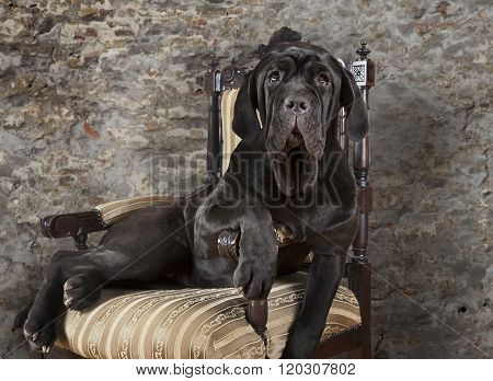 Portrait Of Mastiff Neopolitano Dog