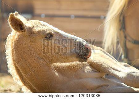 Little palomino foal