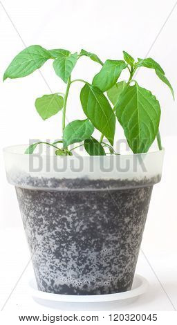 Pepper Young Plant
