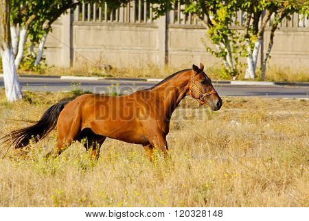 red horse with a black short  mane runs on the high dry grass