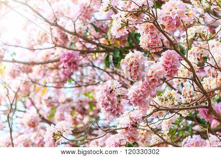 Pink Trumpet Flower Or Tatebuia Rosea