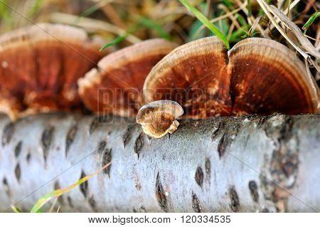 Close-up Mushroom (ganoderma Lucidum)
