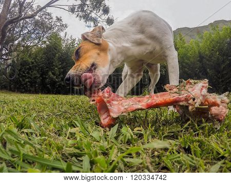 Jack Russell Terrier Dog Licking An Oversize Bone