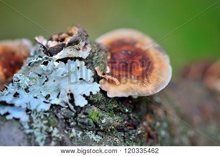 Close-up Mushroom (ganoderma Lucidum) And Lichen