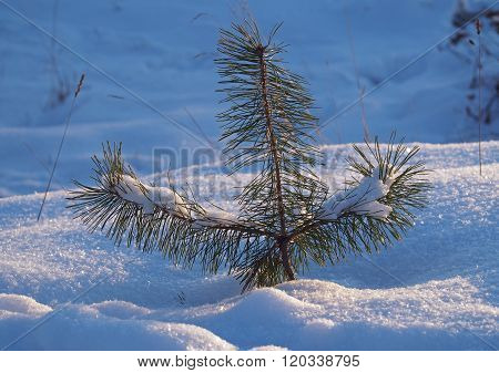 Tiny pine in a snow