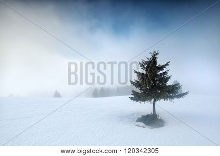 Spruce Tree On Snowy Mountain Top In Fog