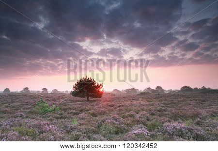 Sunrise And Flowering Purple Heather