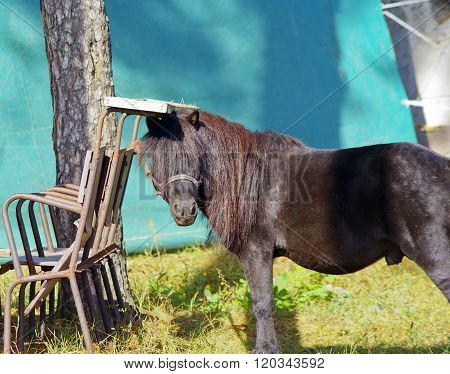 small black pony with long mane is placed next to chairs