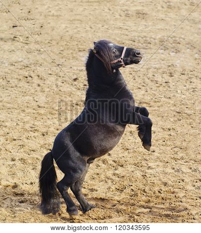 small black pony with long mane stand on the sand