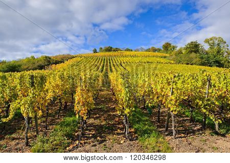 The Yellow Vines In The Vicinity Of Andlau In The Fall, Alsace, France