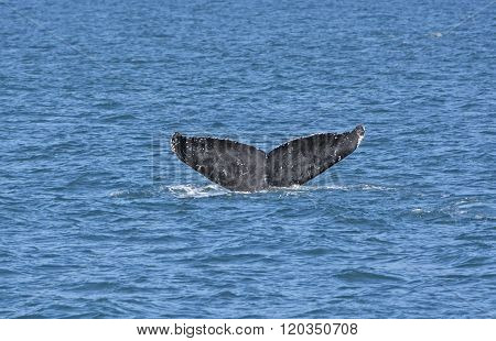 Whale Flukes On The Way Down