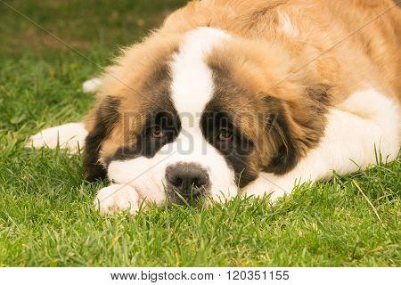 Cute puppy dog Saint Bernard resting at a park.