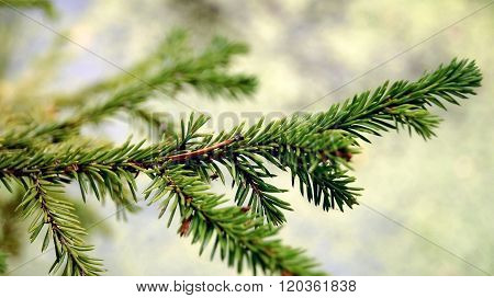 Branches Of A Coniferous Tree.