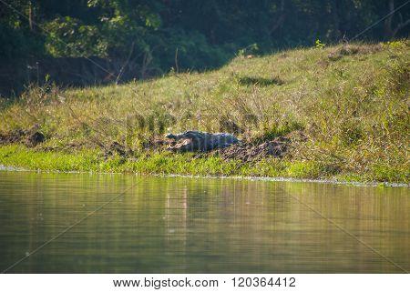 Huge Crocodile Taking Sun In Chitwan National Park, Nepal