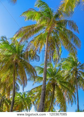 Tropical coconut palms