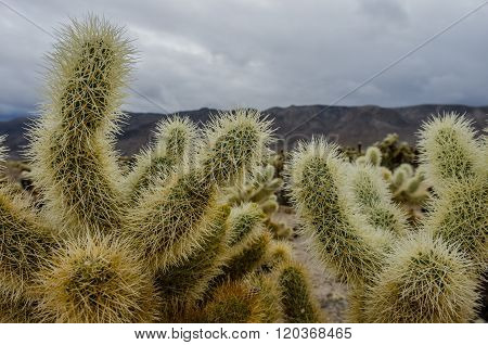 Cholla Cactus Close Up On Cloudy Day
