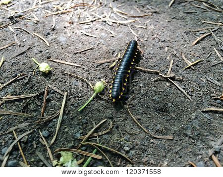 Marching millipede