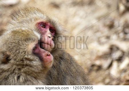 Pair Of Little Monkeys In Park