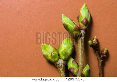 Buds Swell Background On Terra-cotta. Three Twigs (bright Tone)
